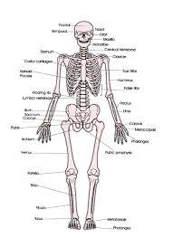 Anatomy Of Human Body Bones Human Anatomy Chart Page 60 Of 202 Pictures Of Human Anatomy Body