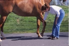 ferrari horse vs mustang horse why hoof bruises happen the horse owner u0027s resource