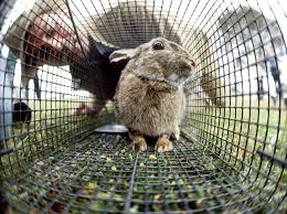 rabbit control in urban and semi urban areas agriculture and food