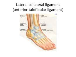 Collateral Ligaments Ankle Articulations Of The Lower Limb Unit 4 4 August 16 Ppt Download