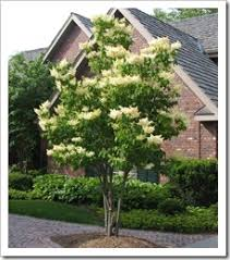 Best Trees For Backyard by Japanese Lilac Tree Jpg 229 260 Pixels Front Yard Pinterest