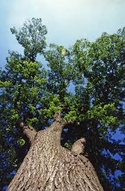 file looking up at the canopy of an american elm tree jpg