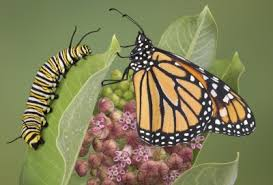 how to raise butterflies teaching about caterpillars and