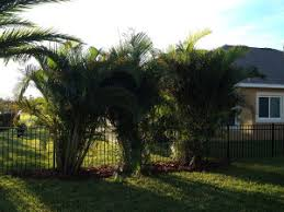 ta palm tree sales and installation oasis palms landscaping