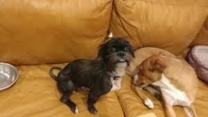 affenpinscher near me view ad affenpinscher mix dog for adoption texas houston usa