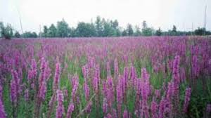 illinois native plant society purple loosestrife francis w parker chicago il youtube
