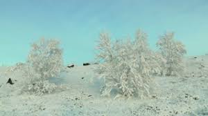 snowy and frosty tree branches swaying in the wind on blue sky