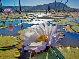 native aquatic plants the giant water lily