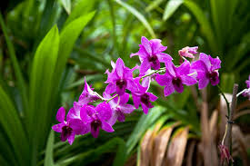 Purple Orchids Free Photo Hawaii Aloha Flower Purple Blossom Orchids Exotic Max