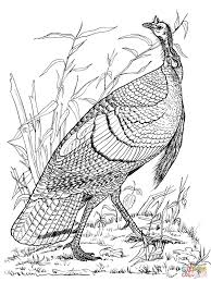 wild turkey hen coloring page free printable coloring pages