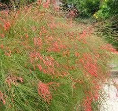 coral phoenix landscape design colors desert crest llc
