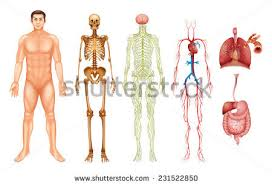 Human Anatomy And Body Systems Human Body Anatomy Stock Images Royalty Free Images U0026 Vectors