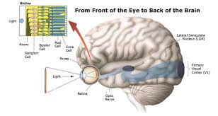 Eye Anatomy And Physiology The Clinical Anatomy And Physiology Of The Eye Rila Institute Of