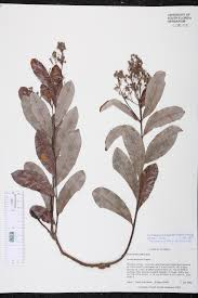 geobalanus oblongifolius species page isb atlas of florida plants
