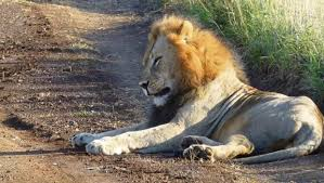 sle resume journalist position in kzn wildlife ezemvelo accommodation relief as lion is found in old home after long search news24