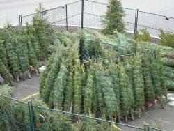 buy christmas tree where to buy a christmas tree in ta florida