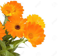 calendula flowers calendula flowers on white background stock photo picture and