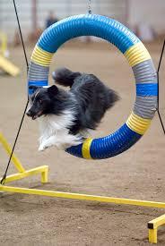 740 best dog agility images on pinterest dog agility dog stuff