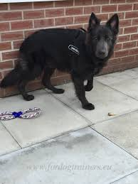 belgian sheepdog south africa multifunctional harness for tracking and pulling with gsd u20ac41 9