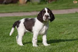 english springer spaniel dog breed information buying advice