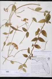 florida native aquatic plants funastrum clausum species page isb atlas of florida plants