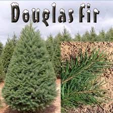 douglas fir christmas tree douglas fir christmas trees shop 5 6 ft fresh douglas fir christmas