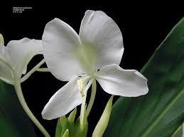 Hawaiian Flowers And Plants - university of hawaii campus plants uh botany