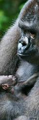 bentley orangutan 18 best mommy u0026 baby animals images on pinterest baby animals