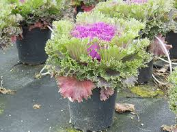 potential production challenges with ornamental cabbage and kale