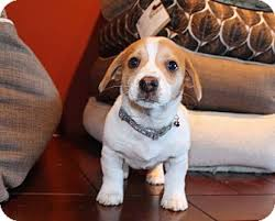 australian shepherd for sale los angeles hopscotch adopted puppy los angeles ca corgi beagle mix