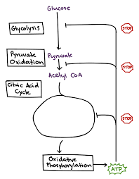 fermentation and anaerobic respiration cellular respiration