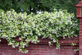 lsu students call for removal of confederate jasmine from campus