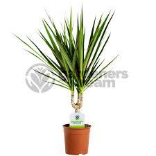 dracaena gardenersdream dracaena marginata in 12cm pot from gardenersdream