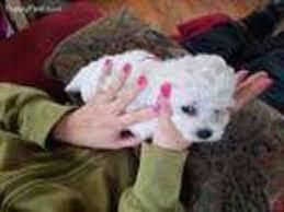 bichon frise nashville view ad bichon frise puppy for sale kentucky lancaster usa