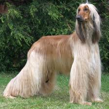 afghan hound vetstreet would you own that dog breed game