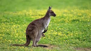 how long do kangaroos live reference com