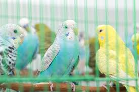 heat l for bird aviary keeping budgies in a cage budgie keeping budgie guide guide