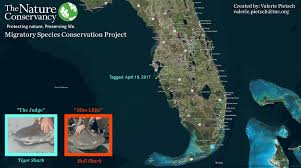 Where Is Cape Coral Florida On The Map by Satellite Tagged Sharks Provide New Data On Gulf Migrations U2013 Cool