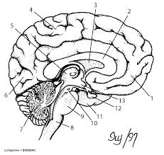 human brain cross section human anatomy charts