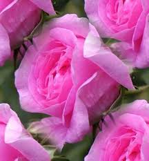 Colorful Roses Roses Images Colorful Roses Wallpaper And Background Photos 11400412