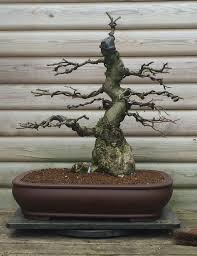bonsai tree repotting pruning and care services north yorkshire