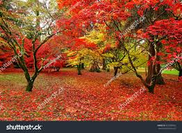 beautiful colours acer trees autumn westonbirt stock photo