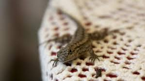 Backyard Reptiles What Do Baby Lizards Eat Reference Com