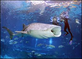 swim or dive with the world u0027s largest fish whale sharks dive