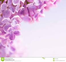 Lilca by Lilac Flowers Background Royalty Free Stock Images Image 8140439