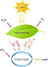 What Happens During The Light Dependent Reactions Of Photosynthesis Light Reactions Of Photosynthesis Ck 12 Foundation