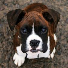 2 types of boxer dogs 43 best european vs american boxers images on pinterest boxer