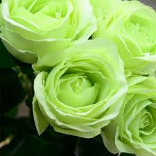 Blue Roses For Sale Black Rose Seeds Green Yellow Gold Purple Blue Rose Seeds Buy