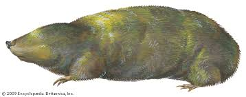 Moles Blind Golden Mole Mammal Britannica Com