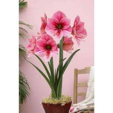 Amaryllis Flowers Purple Amaryllis Flower Bulbs Garden Plants U0026 Flowers The